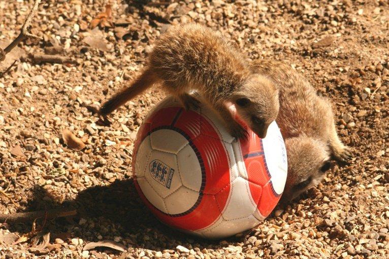 Baby Meerkats Play