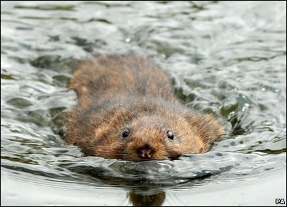 Water vole being released