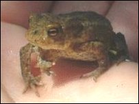 The toad found with five legs in the palm of a hand