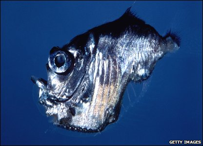 A deep-sea hatchetfish