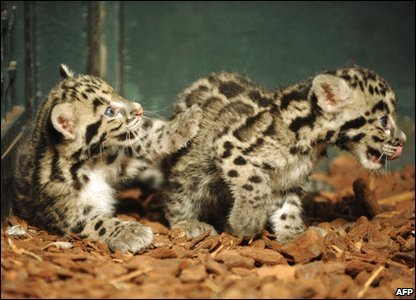 Meet Parti and Jaya, rare clouded leopards cubs born at a zoo in Paris in May.