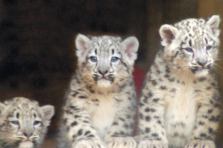 Three new additions to the snow leopard family are being introduced to