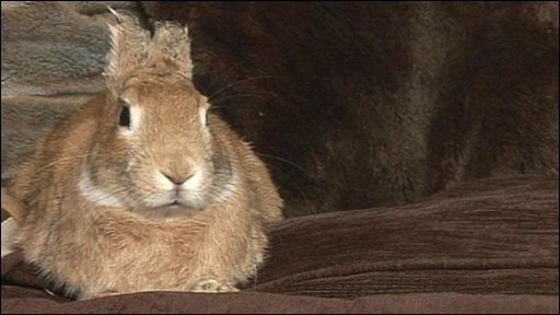 Colin the rabbit, who had his ears burnt off in an attack while his owners were away on holiday