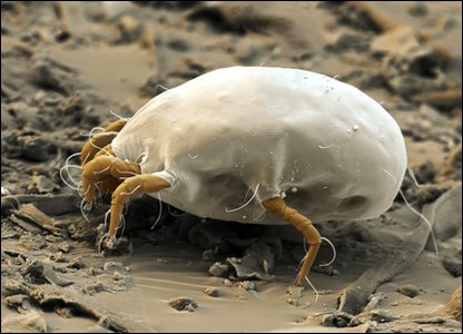 Dust mite - gross bugs in close-up