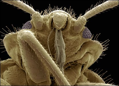 Bed bug - gross bugs in close-up