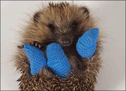 Trifle the hedgehog breaks 3 legs after suspected dog attack.