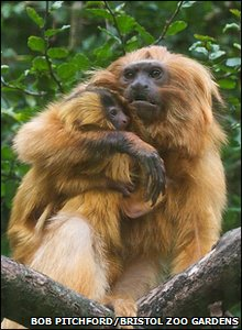 The golden lion tamarins