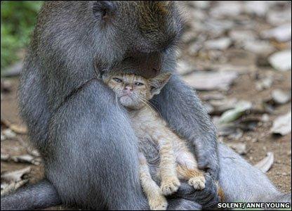 Monkey adopts cute kitten