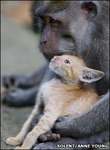 Monkey adopts cute kitten