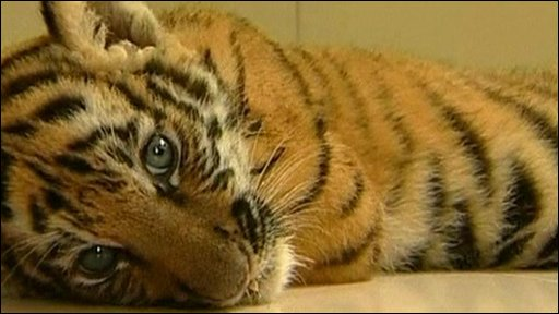 Smuggled tiger is rescued from suitcase