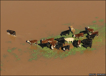 A herd of cattle look for dry ground in Wangaratta, Australia