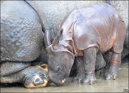 Ajang the baby rhino born at Whipsnade Zoo