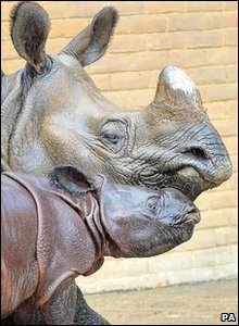 Ajang the baby rhino born at Whipsnade Zoo with his mum Behin