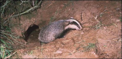 A badger leaving its set