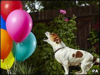 Anastasia the Jack Russell who can pop 100 balloons in the fastest time - 44.9 seconds