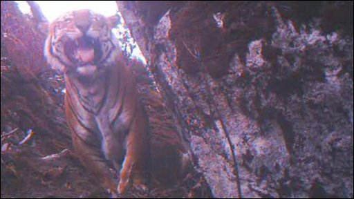 One of the tigers spotted living in the Himalayas