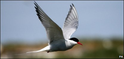 UK's oldest Arctic tern