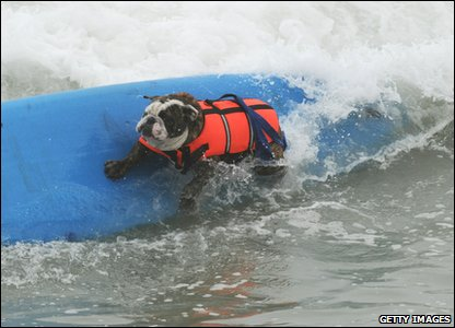 Surf dog Hollywood does a cutback