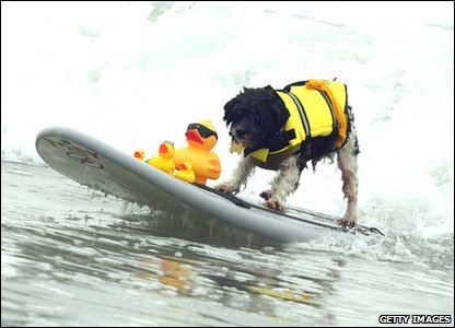 Surf dog riding the waves - with rubber ducks!