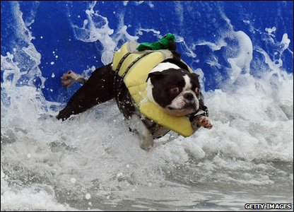 Surfer dog gets wiped out
