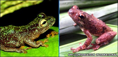 Omaniundu Reed Frog and Mount Nimba Reed Frog (AFP/Conservation International/Joe Keilgast/N'goran Germain Kouame)