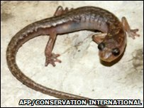 Cave Splayfoot Salamander (AFP/Conservation International/Sean Rovito)