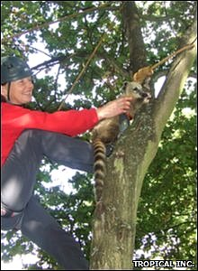 Baby coati learning how to climb a tree