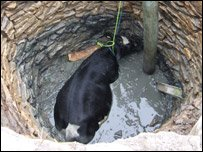 Cow at bottom of well before being rescued by the fire service