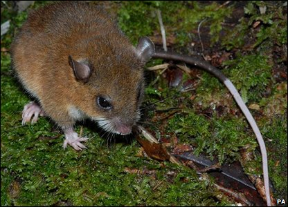 Apparently this montane mouse - with a long-tipped tail is so different to anything experts have ever seen - they think they represent a completely new species.