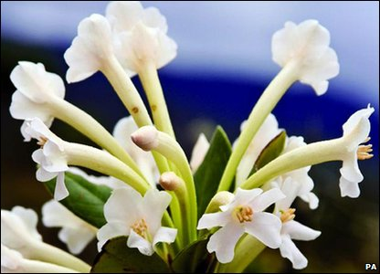 Nine new plants were found. This plant is the white-flowered Rhododendron. Scientists hope more will now be done to help protect the new species.