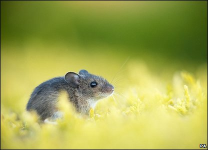 Wood mouse: Photo credit: Phillip Thomas/British Wildlife Photography Awards/PA Wire