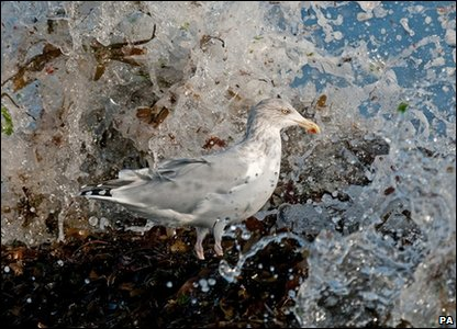 Herring gull: Photo credit: Steve Young/British Wildlife Photography Awards/PA Wire