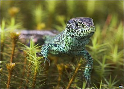 Sand lizard: Photo credit: Geoff Simpson/British Wildlife Photography Awards/PA Wire
