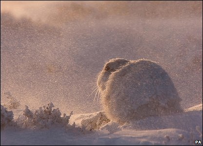 Mountain hare:Photo credit: Marcin Zagorski/British Wildlife Photography Awards/PA Wire