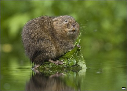 Water vole: Photo credit: Terry Whittaker/British Wildlife Photography Awards/PA Wire