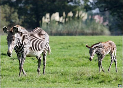 Baby zebra and mum Sarah take a stroll.
