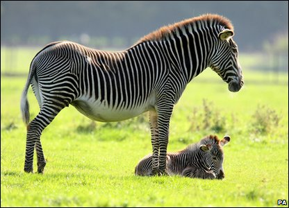 Baby zebra and mum Sarah relaxing in the sun.