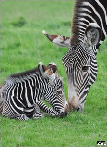 Zebras at Whipsnade Zoo