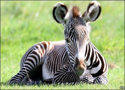 Baby zebra poses for the camera