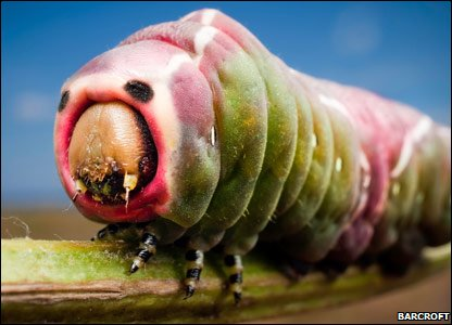 A pink-faced puss moth caterpillar.