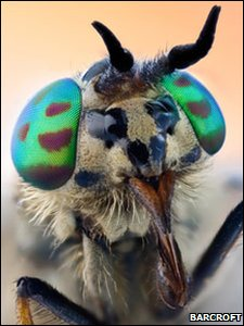 A horse fly