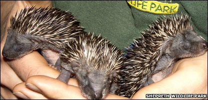Baby hedgehogs found on a building site
