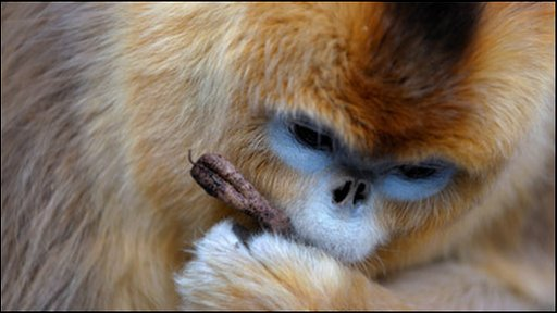 Golden snub nose monkey