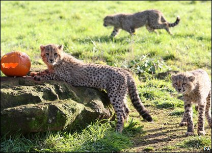 Halloween treat for these cheetah cubs as they enjoy a pumpkin at Whipsnade Zoo.