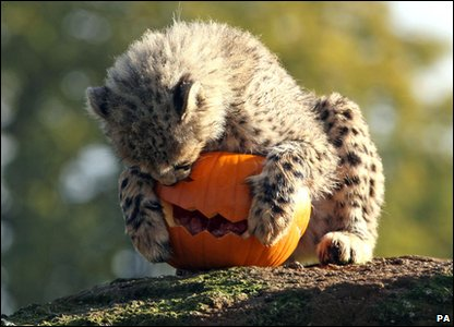 Halloween treat for this cheetah cub as it enjoys a pumpkin at Whipsnade Zoo.