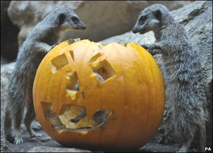 Halloween treat for these meerkats as they enjoy a pumpkin at Bristol Zoo.