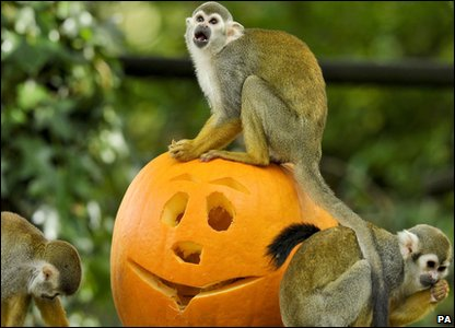 Halloween treat for these squirrel monkeys as they enjoy a pumpkin at Bristol Zoo.