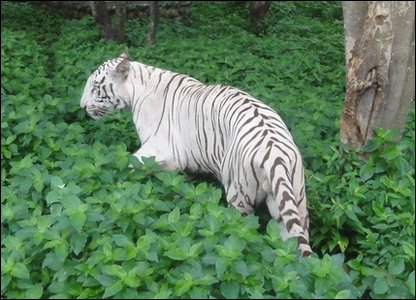 White tiger in Indian zoo