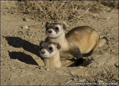 Wild black-footed ferret of America