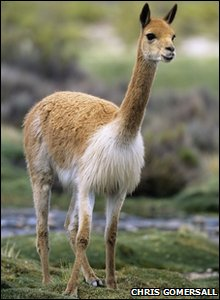 A vicuna in the wild